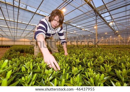 A man, working in a huge glasshouse, checking the bulbs of potted plants - stock photo