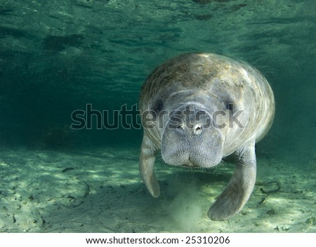 A manatee (Trichechus manatus latirostrus) swims along underwater in the springs of Crystal River, Florida - stock photo