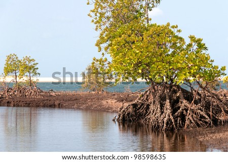 a mangrove swamp walking trees - stock photo