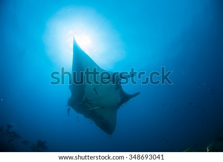 A Manta gliding under a sunburst in clean blue water - stock photo