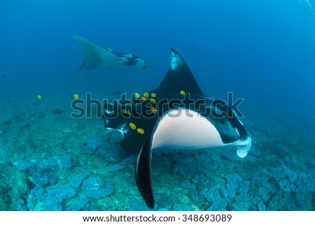 A manta ray duo swimming together through blue water with bright yellow butterfly fish cleaning  parasites off their wings