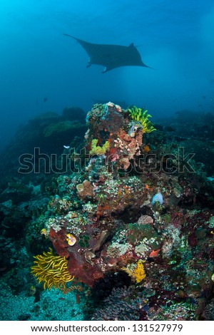 A manta ray (Manta alfredi) cruises through a channel where a diverse reef grows.  The channel receives lots of current and is near the island of Komodo in Indonesia. - stock photo