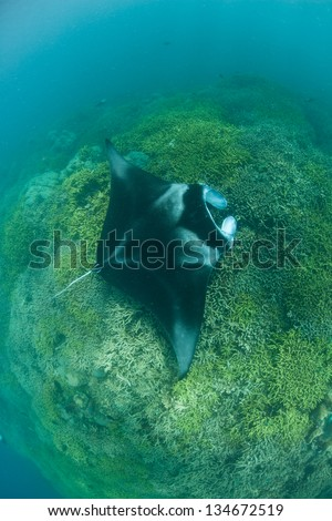 A manta ray (Manta alfredi) visits a shallow cleaning station where parasites are removed by small fishes.  These large rays are incredible to view first hand. - stock photo