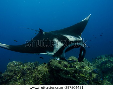 A manta ray, Manta birostris, getting cleaned at a coral reef cleaning station. - stock photo