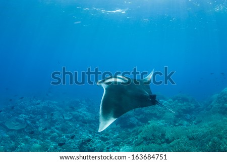 A Manta ray (Manta birostris) swims above a reef pinnacle where it comes to have parasites removed by small fish in Raja Ampat, Indonesia. - stock photo