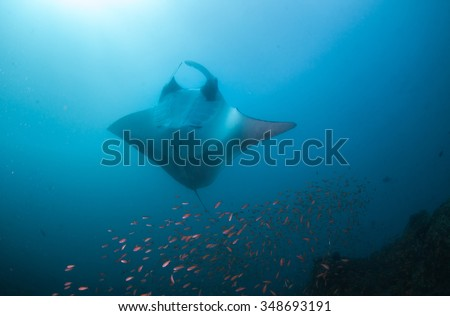 A Manta ray posing belly-up for a photograph - stock photo
