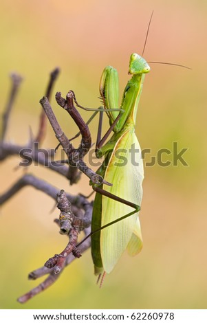 A Mantis is watching in the camera - stock photo