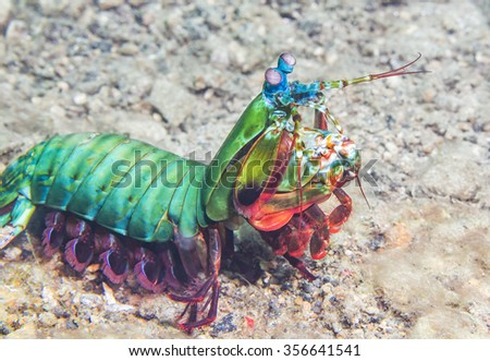 A mantis shrimp lives on a coral reef in the Philippines. - stock photo