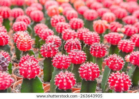A Many red cactus in the store - stock photo