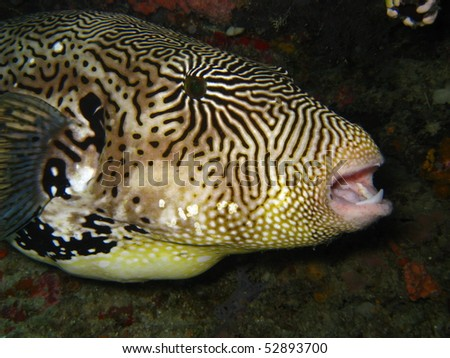 A Map Puffer (Arothron Mappa) - stock photo