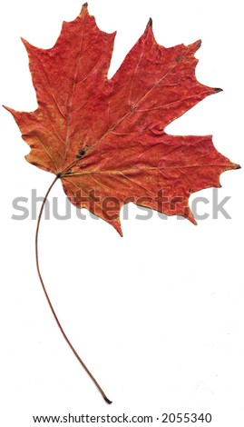 A maple leaf isolated on white background.