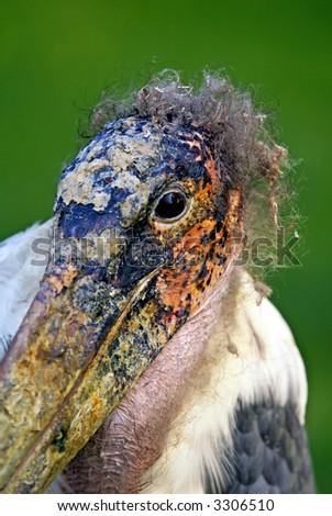 A marabou having a bad hair day. - stock photo