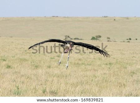 A Marabou Stork landing on the grassland  - stock photo