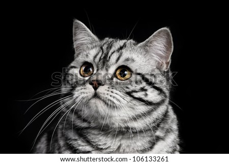 A marble british cat secretly sneaking over a black background - stock photo