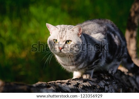 A marble british cat walking outdoors - stock photo