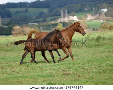 A mare and foal gallop across a grass paddock. - stock photo