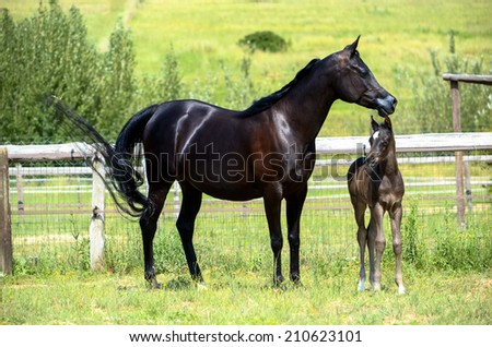 A mare and foal in a grassy paddock , a black and grey horse - stock photo