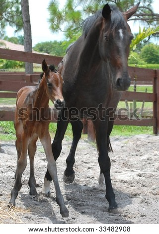 A mare and her brand new 6 hours old foal are in perfect stride in their paddock