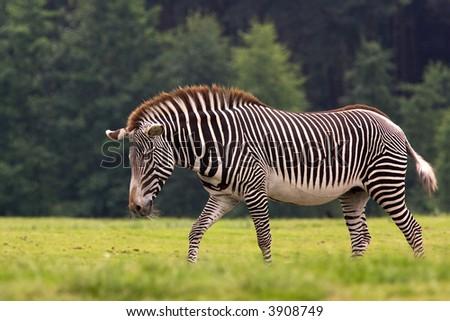 A mare zebra walking around - stock photo