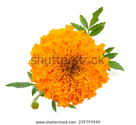 A marigold bud flower - stock photo