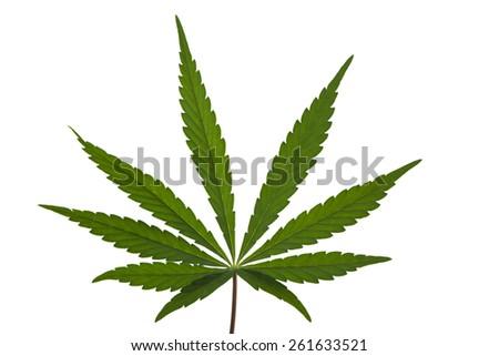 A Marijuana Leaf Isolated - stock photo