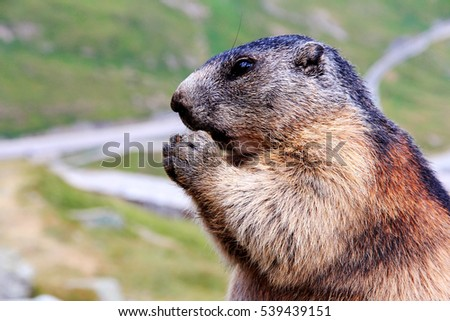 A marmot in the mountain. A marmot keeps food in the paws