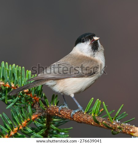 A marsh tit on a fir branch having a piece of peanut in its beak - stock photo