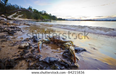 A Maryland Blue Crab resting on the beach in foreground at sunset on the Chesapeake Bay in Maryland - stock photo