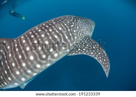 A massive whale shark (Rhincodon typus) swims through the Caribbean Sea. This widespread tropical species is the largest fish on Earth and filter feeds on planktonic organisms. - stock photo