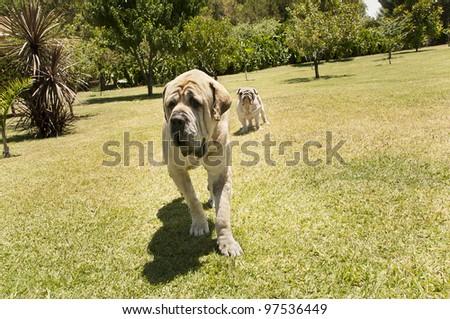 A mastiff and a bulldog . Outdoors shot. Sunny day. - stock photo