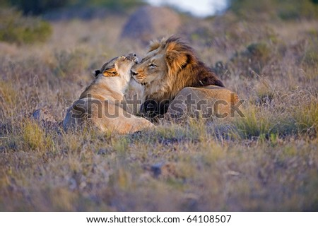 A mating Lion Couple snuggle - stock photo