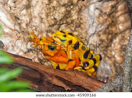 A mating pair of poisonous panamanian (Atelopus Zeteki) golden toads. Many frogs and toads are critically endangered. They symbolize luck and prosperity and are the ingredient in poison darts. - stock photo