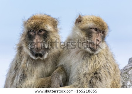 A mature and young female Barbary Macaque sat on a rock grooming at the Rock of Gibraltar - Europe's only primate Macaca sylvanus - stock photo