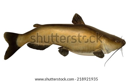 A mature Channel Catfish (Ictalurus punctatus) isolated on a white background. - stock photo