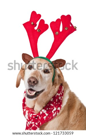 A mature golden labrador outfitted for Christmas.
