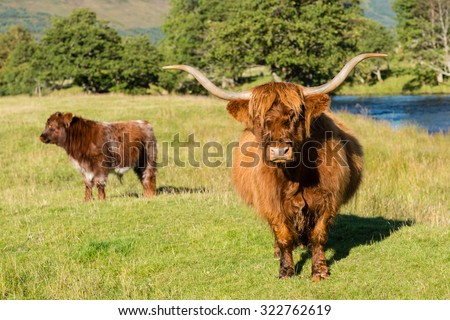 A mature Highland Cow and her calf in Glen Lyon, Perthshire, Scotland. - stock photo