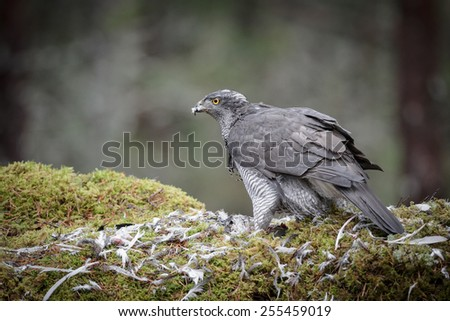 A mature male Goshawk feeding on its prey. A very secretive bird, living in the darkness of the deep forest, this bird is rarely seen by humans. - stock photo