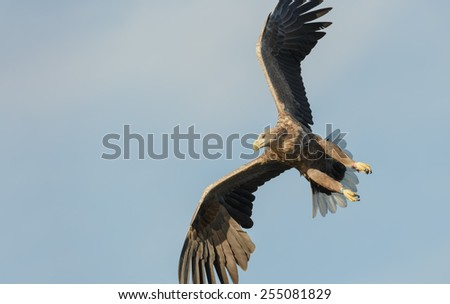 A mature male White-tailed Eagle, or Sea Eagle, rolling into a dive to catch a fish from the frigid waters of a deep Norwegian fjord on a sunny winters day. - stock photo