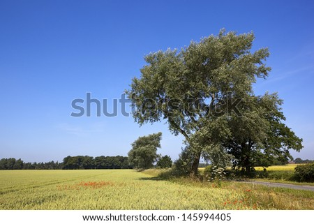 a mature white poplar tree by a country roadside with wheat fields woodlands and poppies under a blue sky in summer - stock photo