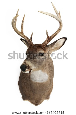 A mature whitetailed buck isolated on a white background. - stock photo