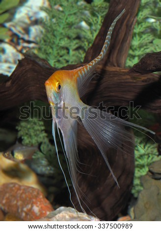 A Mature Yellow Long Finned Angel Fish - stock photo