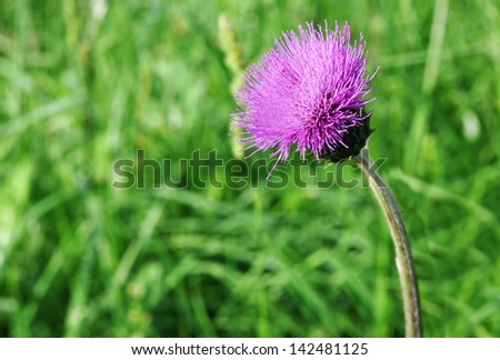 A mauve thistle on green background - stock photo