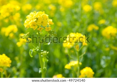 A meadow of rapeseed flowers. - stock photo