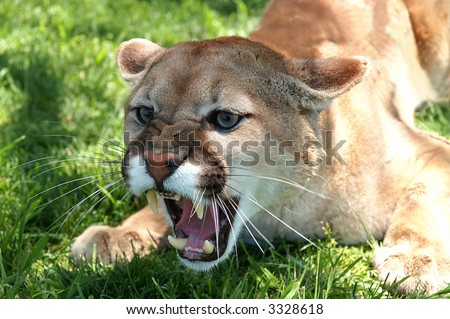 A mean growling mountain lion under a tree on a sunny day - stock photo