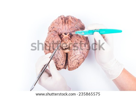 a medical student is showing the crossing of the ophtalmic nerve on a human brain - stock photo