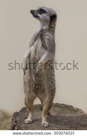 A meercat standing up facing to the left against a plain background - stock photo