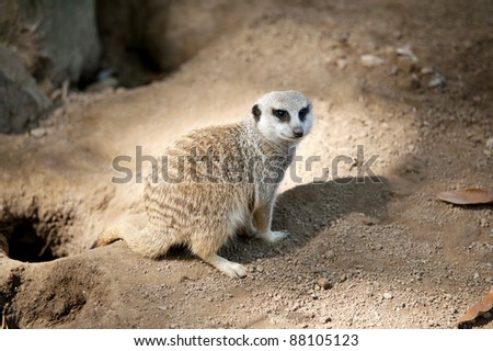 A Meerkat coming out of a hole at the zoo