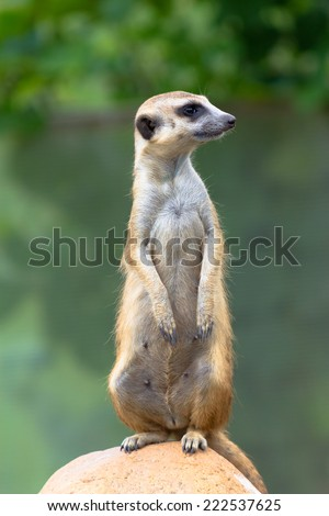 A meerkat sitting on a rock