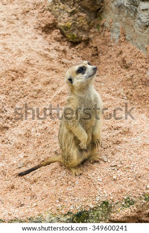 A meerkat standing and watch out for the enemy for the pack - stock photo