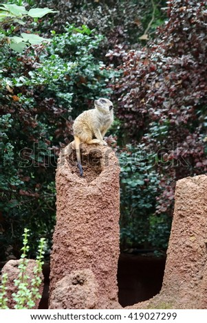 A Meerkat standing on sentry duty, turning its head to look up to the sky - stock photo